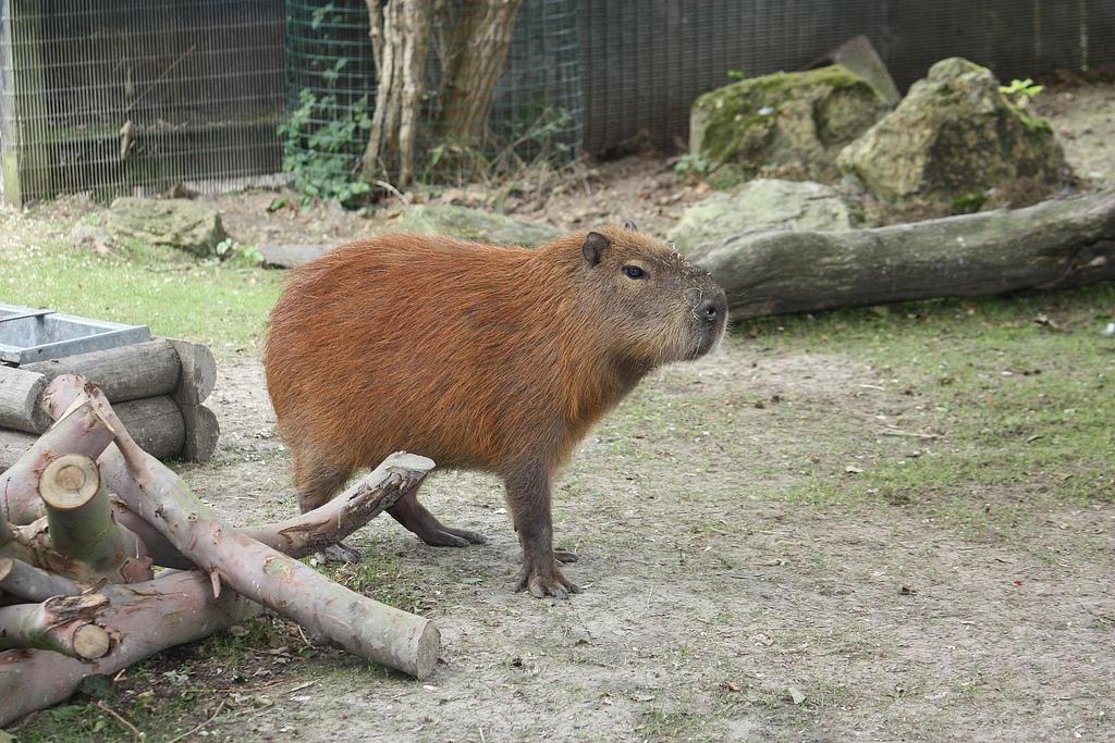 A capybara standing next to a pile of logs.