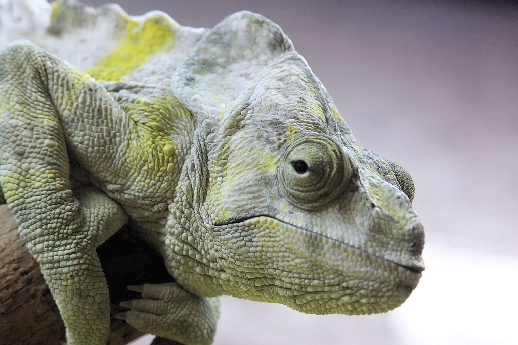 A close of up a chameleon's head. It looks unimpressed.
