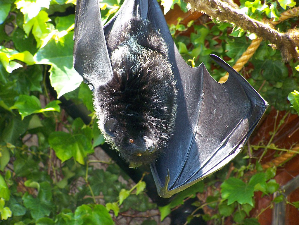 A Livingstone's fruit bat, hanging upside down and looking towards the viewer.