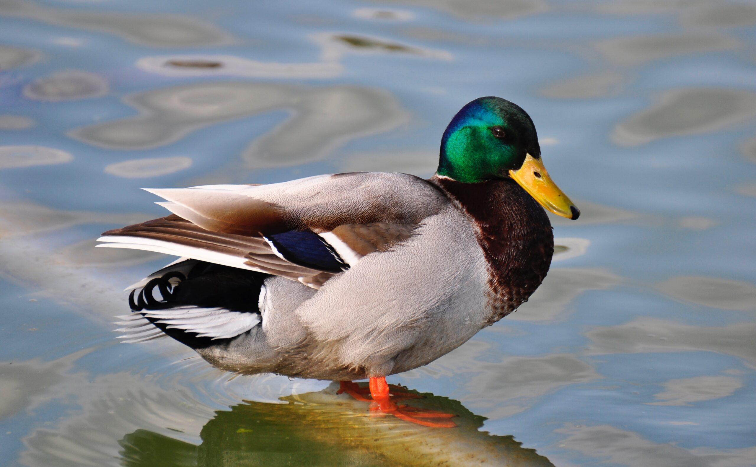A mallard duck standing in shallow water.